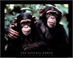The Natural World Chimpanzees - Poster Image