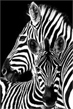 Zebras Poster - 24