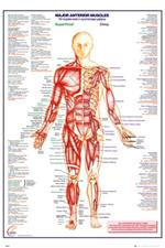 Human Body - Major Anterior Muscles Poster - 24