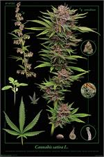 Cannabis Sativa Poster - 24