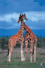 Giraffes Poster - 24