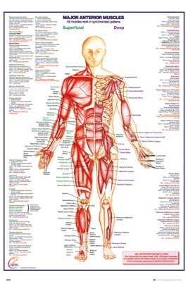 "Human Body - Major Anterior Muscles Poster - 24"" X 36"""